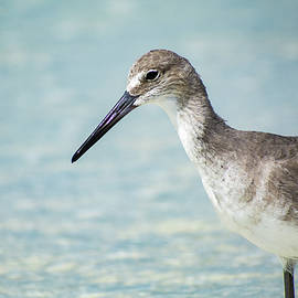 Wading Willet by Mary Ann Artz