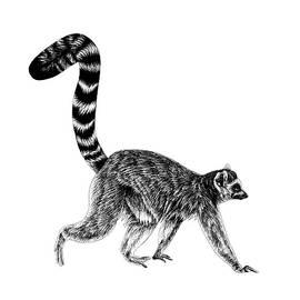 Walking ring-tailed lemur 1 by Loren Dowding