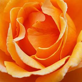 Warm Orange Full Rose by Joy Watson