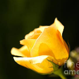 Warm Yellow Rose Bud by Joy Watson