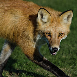 Wary Red Fox