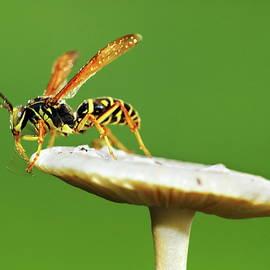 Wasp and mushroom by Alex Nikitsin