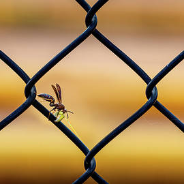Wasp on Fence by Morey Gers