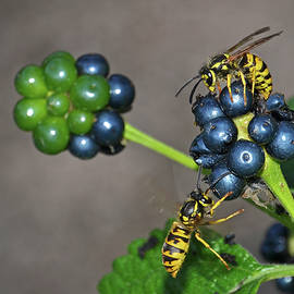 Wasps On Verbena Fruits by Nicola Fusco