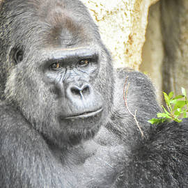 Watchful silverback by Ed Stokes