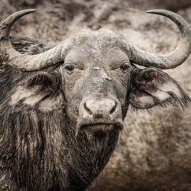Water Buffalo by Maresa Pryor-Luzier