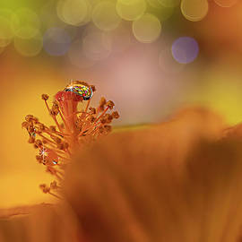 Water Drop on Orange Hibiscus by Lily Malor