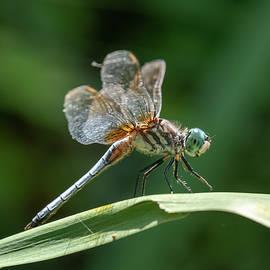 Water Garden Dragonfly II by Steve Ferro