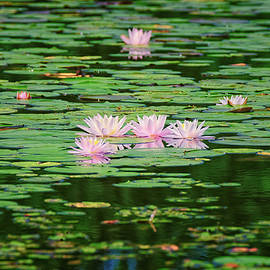 Water Lilies  by Jeff Sinon