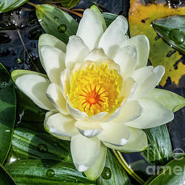 Water Lily by Anthony Ellis
