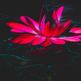 Water Lily in Hot Pink by Rosalie Scanlon