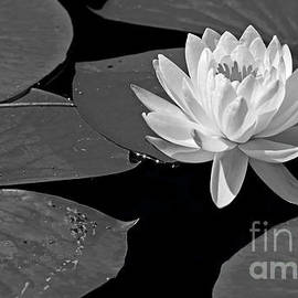 Water lily in the pond by Katie Flenker