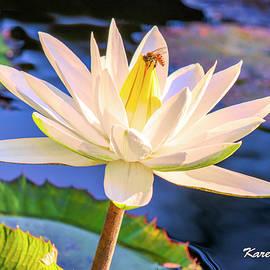 Water Lily by Karen Regan