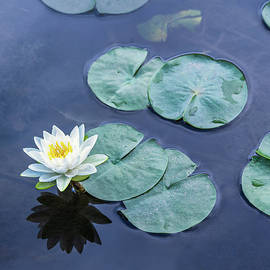 Water Lily Named for a Nymph by Marianne Campolongo