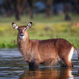 Waterbuck portrait by Murray Rudd