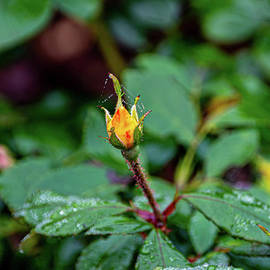 Waterdrops On Rosebud by Richard Thomas