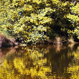 Wattle Tree Flowers Reflection by Joy Watson