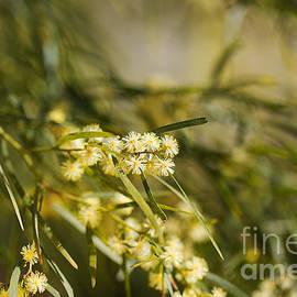 Wattle Tree Spring Flowers by Joy Watson