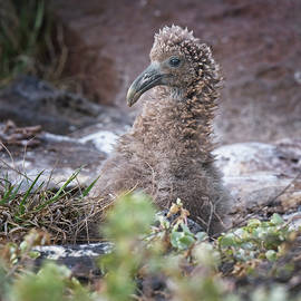 Waved Albatross Chick Galapagos Islands by Joan Carroll