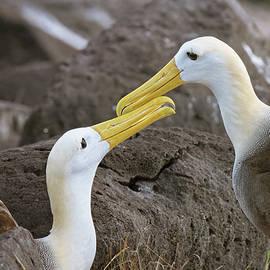 Waved Albatross Courtship Galapagos Islands by Joan Carroll