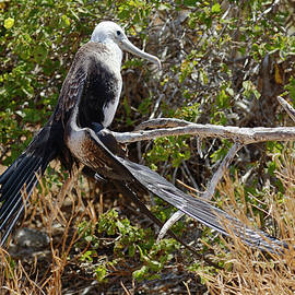 Waved Albatross on Branch by Sally Weigand