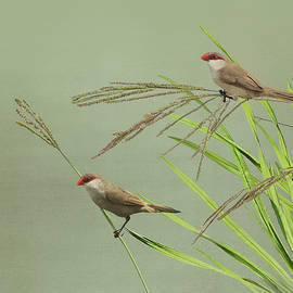 Waxbills in the Grass by Spadecaller