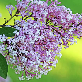 Weeping Lilac Cluster by Debbie Oppermann