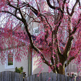 Weeping Cherry Blossoms by Barbara McMahon