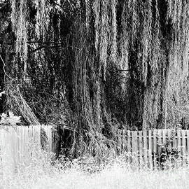Weeping Willow Tree by Robyn King