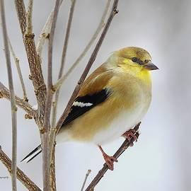 Well-fed Goldfinch by Carmen Macuga
