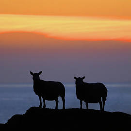 West Highland Scotland Sunset Sheep Summer Silhouette by OBT Imaging