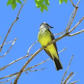 Western Kingbird by Connor Beekman