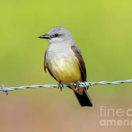 Western Kingbird by Mike Dawson