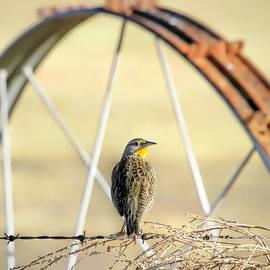 Western Meadowlark by Donna Kennedy