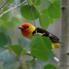 Western Tanager Portrait through the Aspen