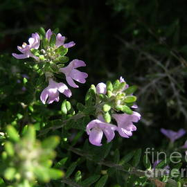 Westringia, Australian Native Shrub.  by Rita Blom
