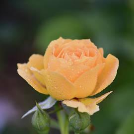 Wet Peach Rose by Robert Tubesing