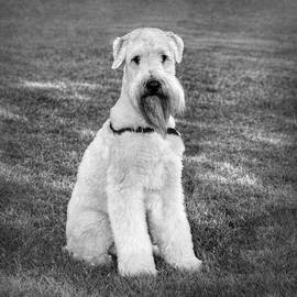 Soft-Coated Wheaten Terrier in Black and White by Marilyn DeBlock