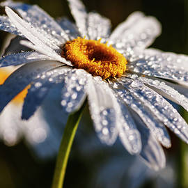 Whit daisy with dew drops by Vishwanath Bhat