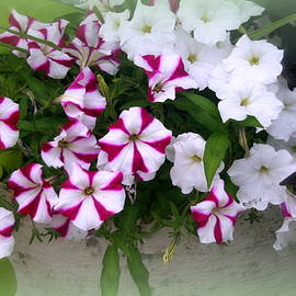 White And Multicolored Petunias by Kay Novy