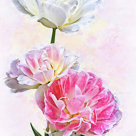 White and Pink Double Tulips by Marcia Colelli