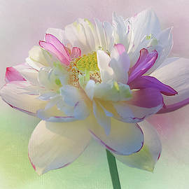 White and Pink Lotus  by Isabela and Skender Cocoli