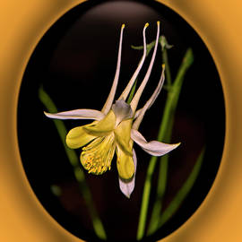 White And Yellow Columbine 018 by George Bostian
