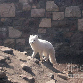 White Arctic Wolf by Mary Mikawoz