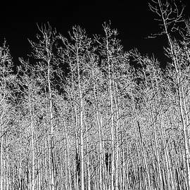 White Aspen Trees by Terry Walsh