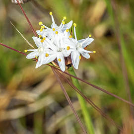 Burchardia congesta Lindl. by Deane Palmer