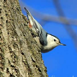 White Bellied Nuthatch by Steve Gass