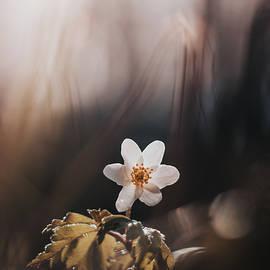 White bloom smell fox in floodplain forest by Vaclav Sonnek