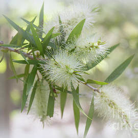 White Bottlebrush - Callistemon salignus by Elaine Teague