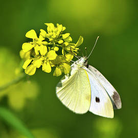 White Butterfly On Yellow Flower by Christina Rollo